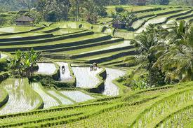 Bali rizière.jpg